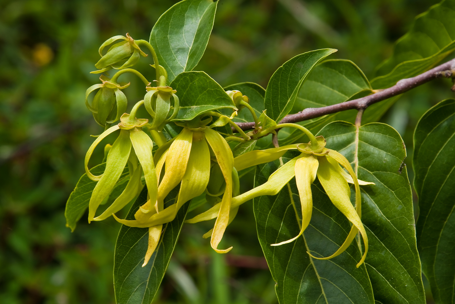 Ylang-Ylang flowers from Madagascar